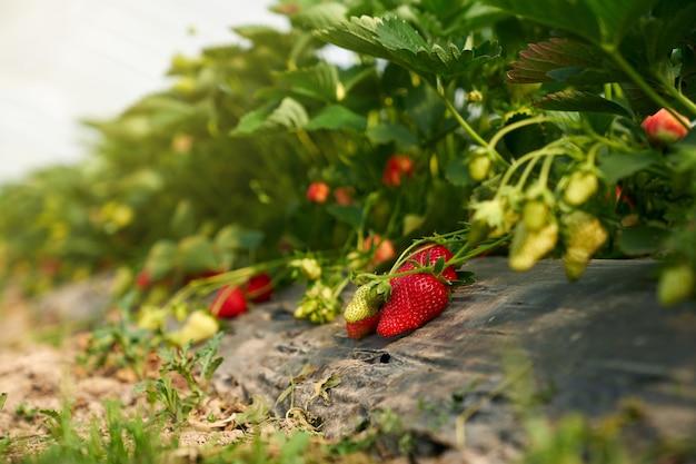 Feche de morangos orgânicos maduros vermelhos na planta em estufa moderna. conceito de deliciosas frutas frescas crescem no jardim no mato.