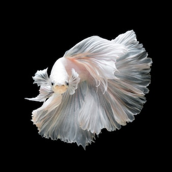 Feche de peixe betta de platina branca ou peixe-lutador-siamês em movimento isolado em fundo preto.