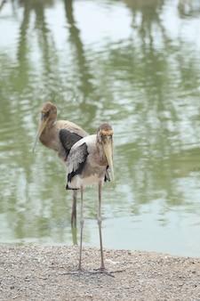 Feche dois grandes pássaros exóticos na margem de um lago