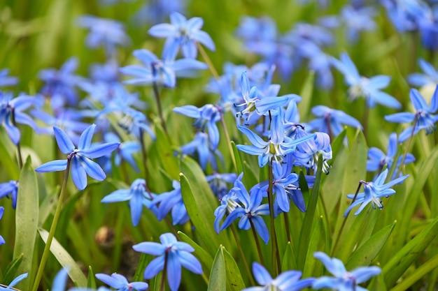Feche muitas flores de scilla (squill, bluebell, snowdrop) primavera roxa azul no campo, vista de baixo ângulo, foco seletivo
