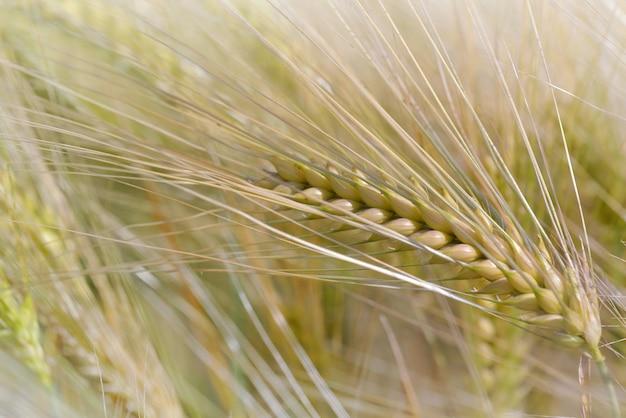 Feche na espiga dourada de trigo crescendo em um campo no verão