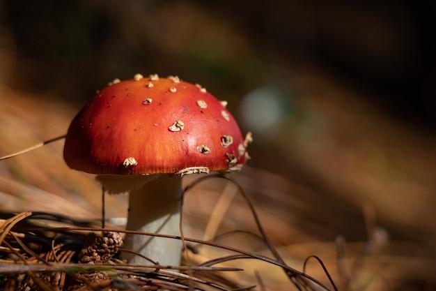 Feche o agaric cogumelo no fundo da floresta de outono. tóxico e alucinógeno vermelho venenoso amanita muscaria.