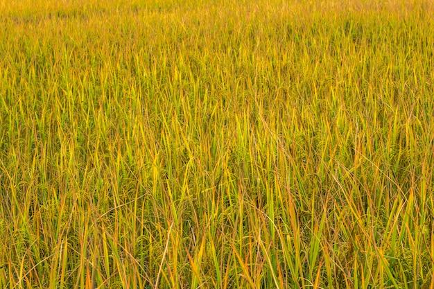 Feche o campo de arroz dourado.