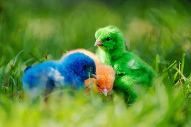 Feche o frango recém-nascido vermelho, verde, azul na grama verde na natureza
