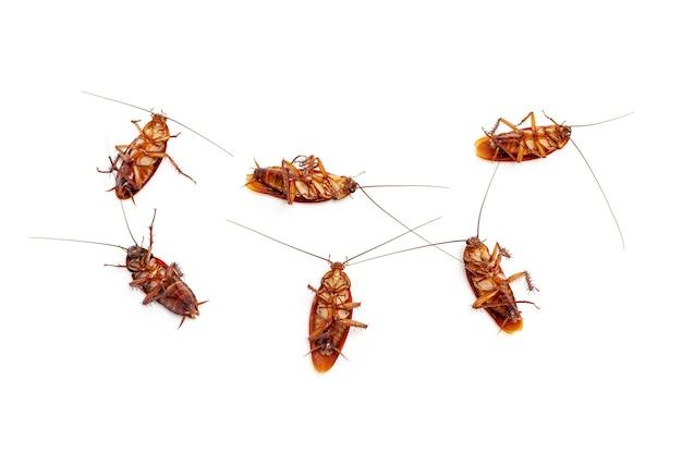 Feche o grupo de barata morta na tailândia em fundo branco
