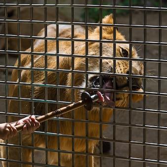 Feche o leão.