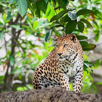 Feche o leopardo.