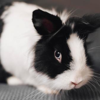 Feche o lindo coelho preto e branco