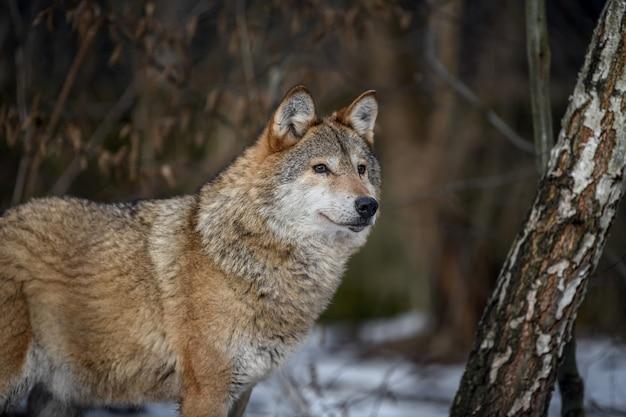 Feche o lobo na floresta de inverno.