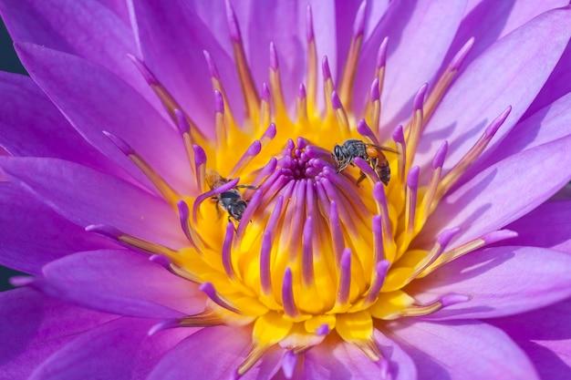 Feche o lótus e a abelha