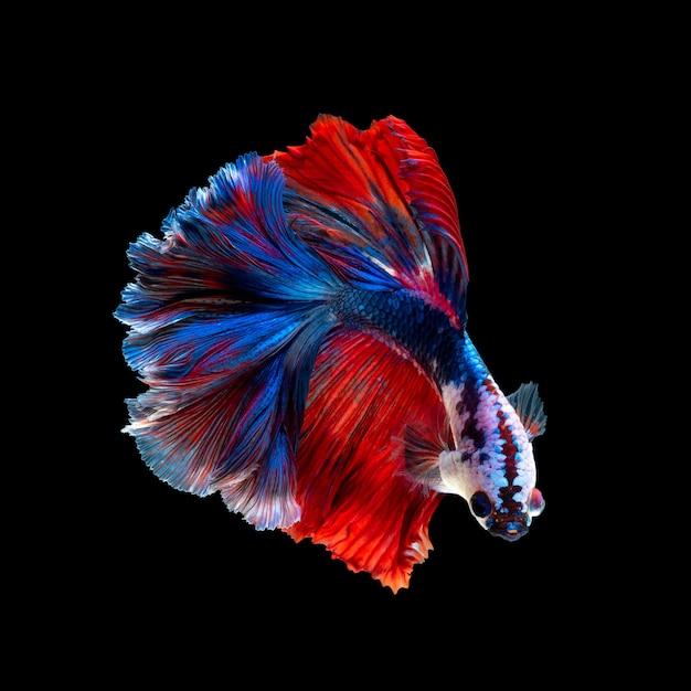 Feche o movimento artístico de peixes betta ou peixes-lutadores siameses isolados em um fundo preto