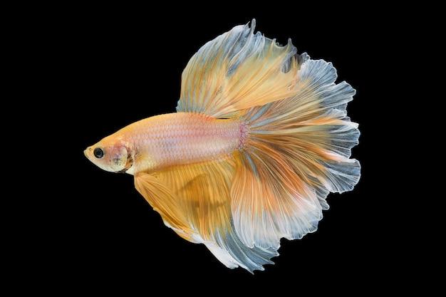 Feche o movimento de arte dos peixes betta, peixes-lutadores siameses isolados no fundo preto.