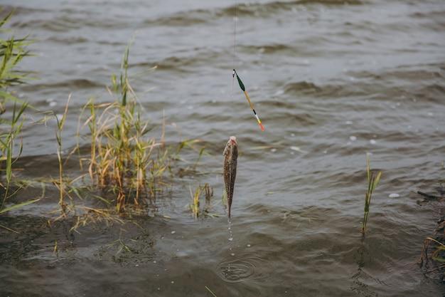 Feche o peixe pescado que é puxado para fora da água, apanhado com um anzol da vara de pescar na margem do lago contra o fundo dos juncos. estilo de vida, recreação, conceito de lazer de pescador