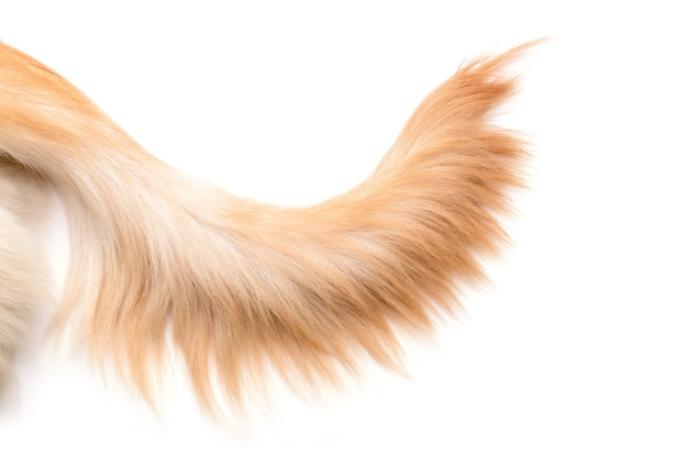 Feche o rabo de cachorro marrom (golden retriever) isolado. vista superior com