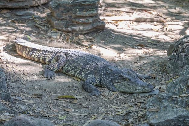 Feche o resto do crocodilo perto do rio na tailândia.