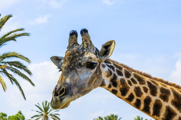 Feche o retrato da cabeça e do pescoço de uma girafa contra um céu azul com nuvens brancas.