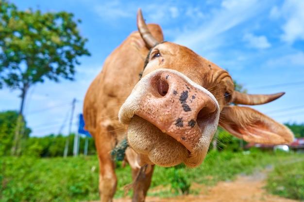 Feche o retrato da curiosa vaca pastando na beira da estrada.