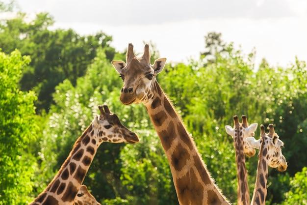 Feche o retrato da girafa masai. animal selvagem