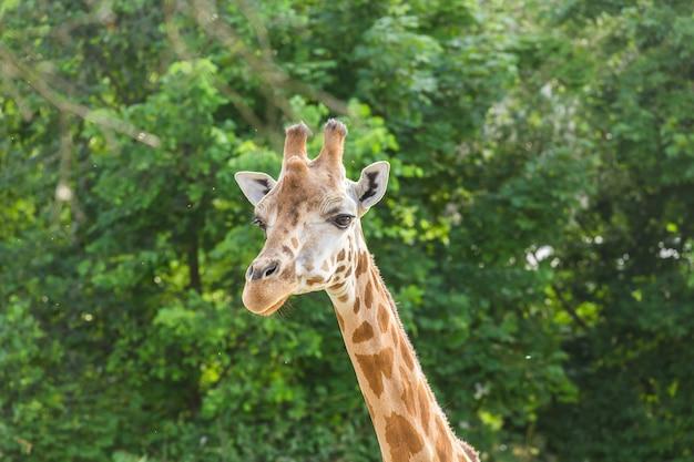 Feche o retrato da girafa