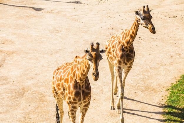 Feche o retrato de girafas. conceito de animal selvagem