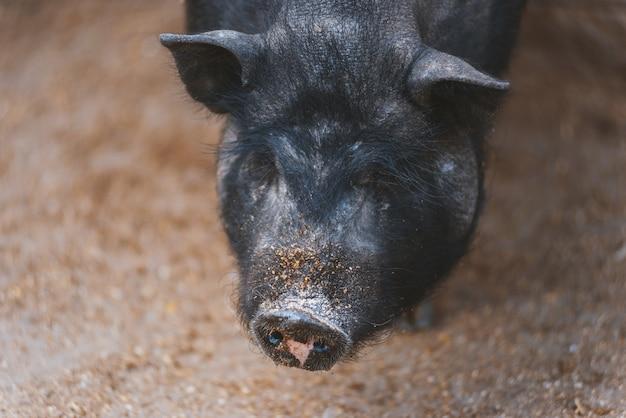 Feche o retrato de porco preto, conceito de fazenda