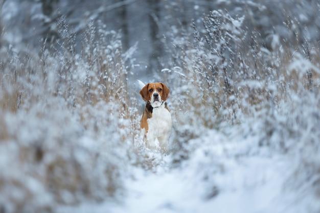 Feche o retrato de um cachorro beagle no inverno, parado nos arbustos em um prado, olhando para a câmera