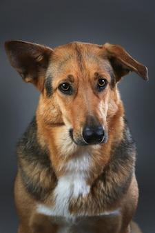 Feche o retrato de um cachorro de raça misturada com vermelho e preto sentado no estúdio, olhando para a câmera no fundo cinza
