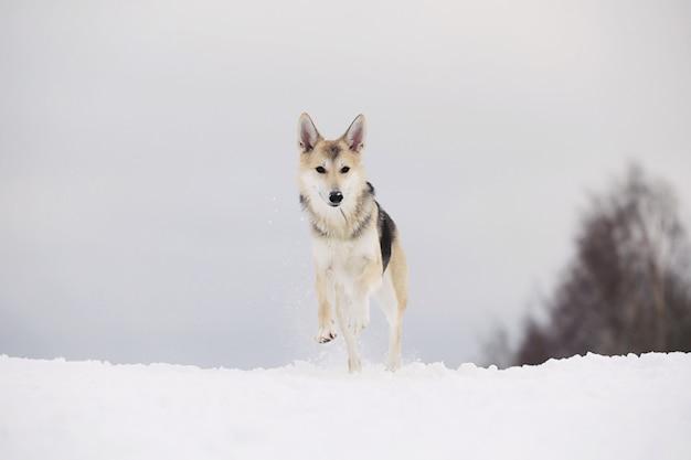 Feche o retrato de um cachorro fofo de raça misturada no inverno nevado. cachorro correndo e se divertindo na neve