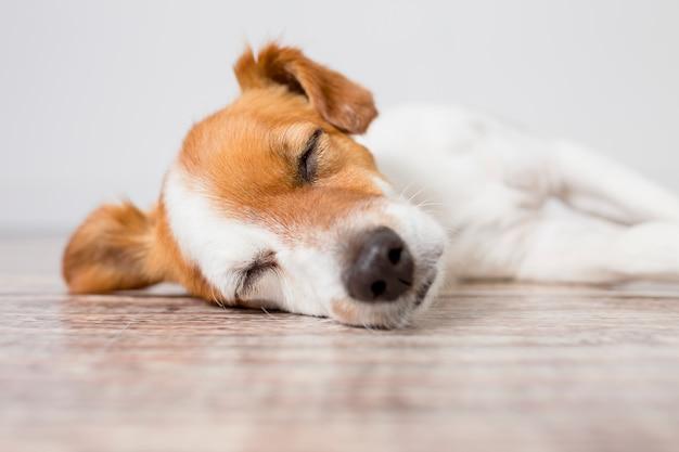 Feche o retrato de um cão pequeno bonito, deitado no chão e dormindo. sentindo-se cansado ou entediado. animais de estimação dentro de casa, casa, estilo de vida.