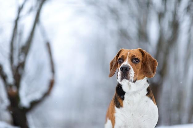 Feche o retrato de um lindo cachorro beagle no inverno, parado em um prado, olhando para a câmera