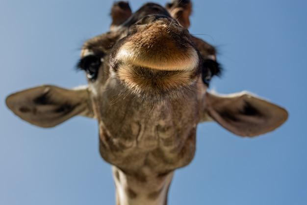 Feche o retrato de uma cabeça de girafa sobre um fundo azul. girafa sorrindo