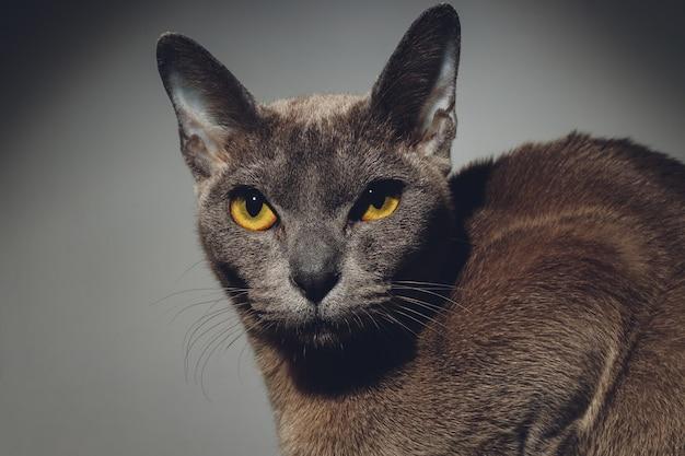 Feche o retrato do gatinho preto bonito com belos olhos, gato sem teto, detalhes da cara do gato, retrato de animais.