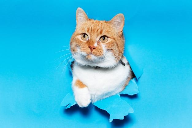 Feche o retrato do gato branco vermelho através do buraco do papel azul rasgado