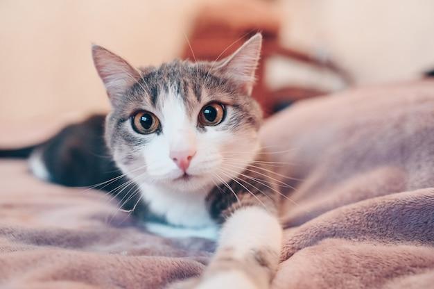 Feche o retrato do gato cinzento e branco engraçado com olhos amarelos, deitada em uma cama
