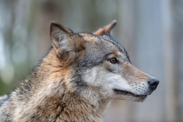 Feche o retrato do grande lobo de madeira na floresta