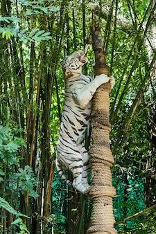 Feche o tigre branco.