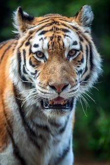 Feche o tigre parado na grama olhando
