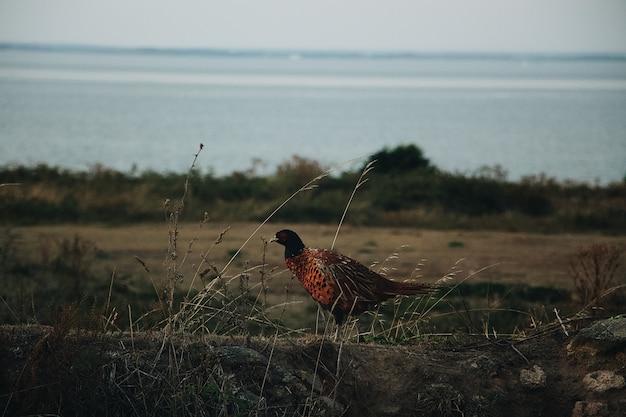 Feche o tiro de um faisão de pescoço em pé em um campo com um mar turva