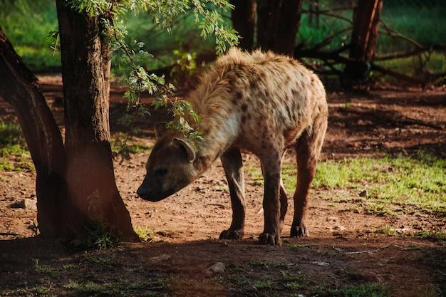 Feche o tiro de uma hiena perto de uma árvore
