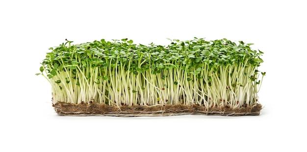 Feche os brotos de microgreens de rúcula verde fresca no composto de drenagem isolado no fundo branco, vista lateral de baixo ângulo