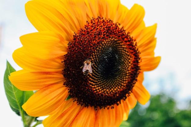 Feche os girassóis e a abelha voadora. verão, polinização de plantas, produção de mel
