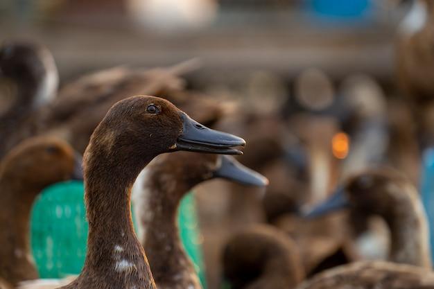 Feche os patos, veja os detalhes e os olhos dos patos
