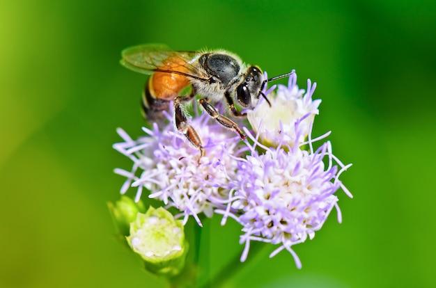 Feche pequenas abelhas em busca de néctar na flor de billy goat weed na tailândia