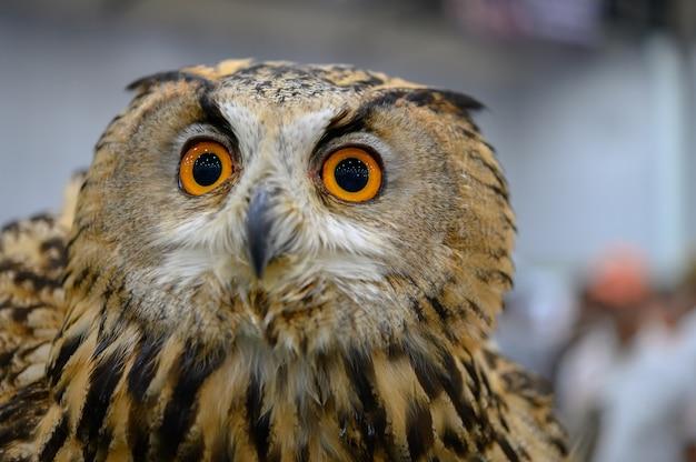 Feche um olho de coruja com cara surpreendente.