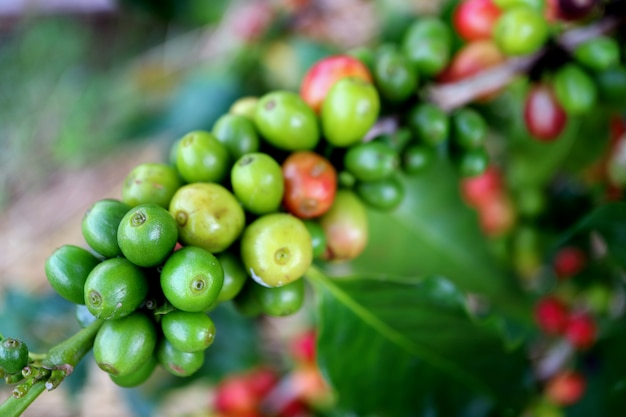 Fechou o bando de cerejas de café jovem verde vibrante no ramo