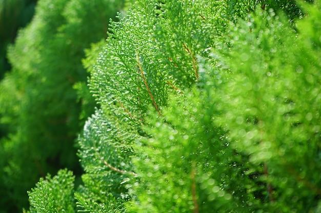 Fechou o frescor de imagem de pinheiro de cor verde em tempo de primavera
