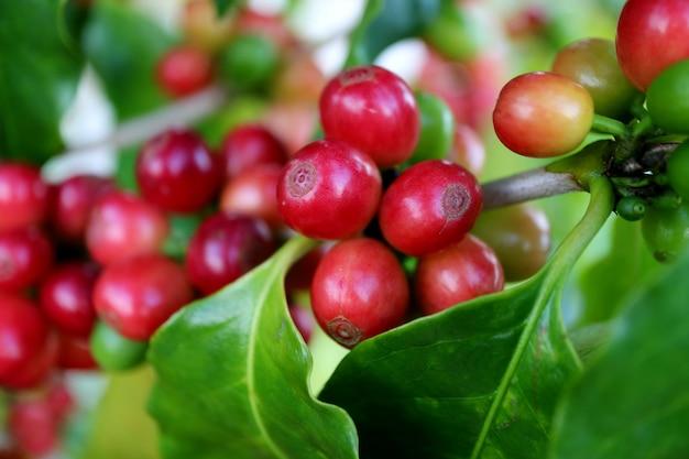Fechou o grupo de cerejas de café maduro vermelho em seu galho de árvore pronto para a colheita