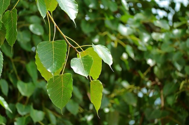 Fechou-se um monte de folhas de árvore bodhi linda à luz do sol