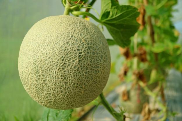 Fechou um fresco muskmelon ou melão fruta na árvore