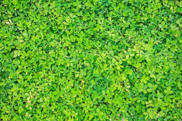 Feijão verde deixa o fundo